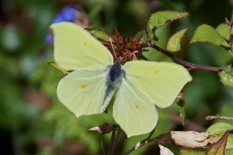 Male Brimstone <i>(Gonepteryx rhamni)</i><br> Photographed in flight.  Fast fluttering movement makes focus tricky.  However, the full wing shape is clearly shown.