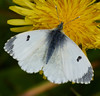 Female Orange-tip<i>(Anthocharis cardamines)</i> Easily confused with Small White.
