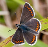 Brown Argus (Aricia agestis)  -  a much better specimen!