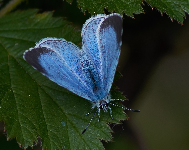 Holly Blue <i>(Celastrina argiolus)</i> Female