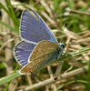 Common Blue <i>(Polyommatus icarus)</i> The underside of wings is completely different from the upper.