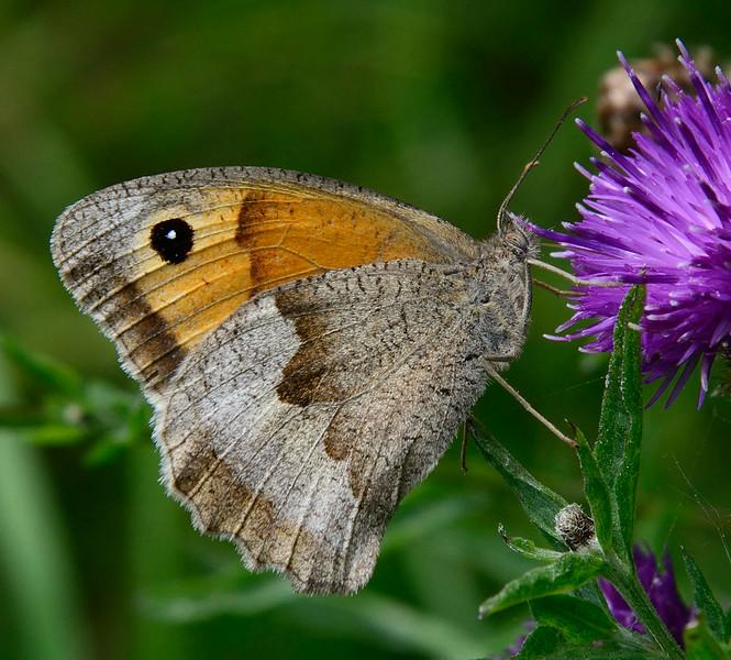 Meadow Brown (Maniola jurtina) - female