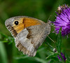 Meadow Brown (Maniola jurtina) - female