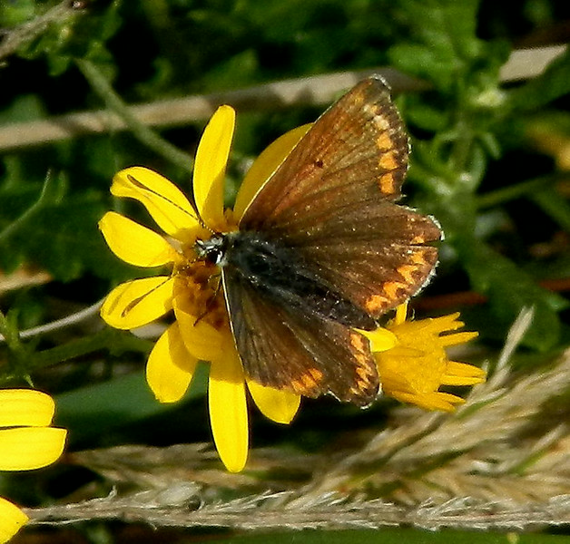 Brown Argus <i>(Aricia agestis)</i>  <br>Getting a little frayed at the edges!