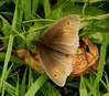 Meadow Brown <i>(Maniola jurtina)</i>