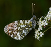 Male Orange-tip <i>(Anthocharis cardamines)</i> The underside of wings is distinctive