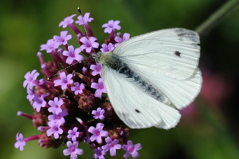 Small White <i>(Pieris rapae)</i>