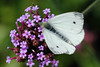 Small White <i>(Pieris rapae)</i>