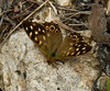Speckled Wood <i>(Pararge aegeria)</i>