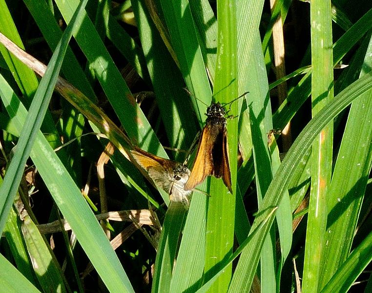 Large  Skipper  <i>(Ochlodes sylvanus)</i><br>Male and female