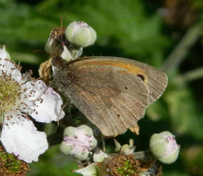 Meadow Brown (Maniola jurtina) - male
