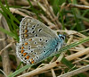 Common Blue <i>(Polyommatus icarus)</i>