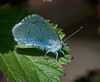 Holly Blue <i>(Celastrina argiolus)</i> Female