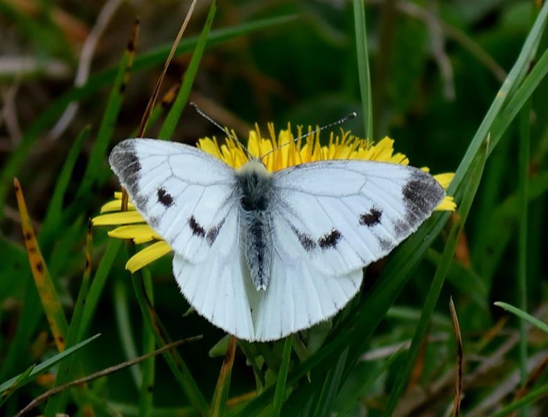 Large White <i>(Pieris brassicae)</i> Female