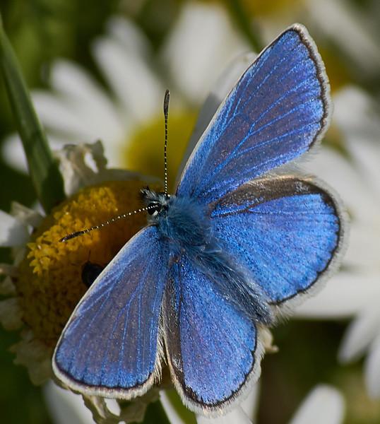 Common Blue <i>(Polyommatus icarus)</i>)