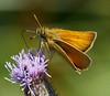 Essex  Skipper  <i>(Thymelicus lineola)</i>