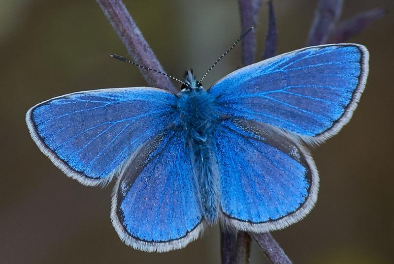 Common Blue <i>(Polyommatus icarus)</i>