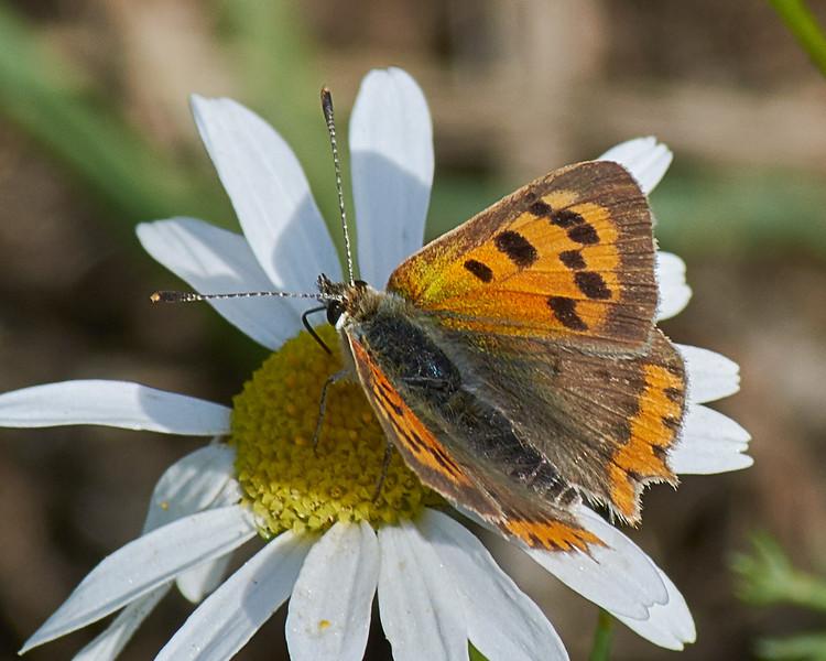 The Small Copper <i>(Lycaena phlaeas)</i>