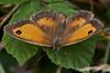 Gatekeeper <i>(Pironia tithonus)</i>