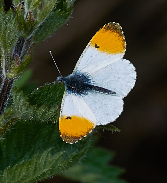 Male Orange-tip <i>(Anthocharis cardamines)</i>