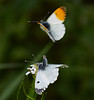 Male and female Orange-tips <i>(Anthocharis cardamines)</i>