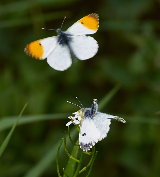 The male butterfly has made many passes attempting to deposit his spermatophore within the female corpus bursae.