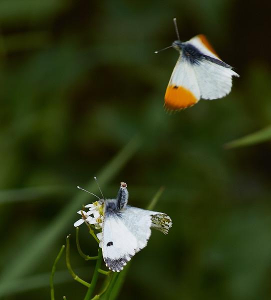 Male and female Orange-tips <i>(Anthocharis cardamines)</i>