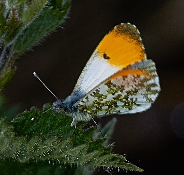 The contrasting appearances of upper and lower wing surfaces is well shown.