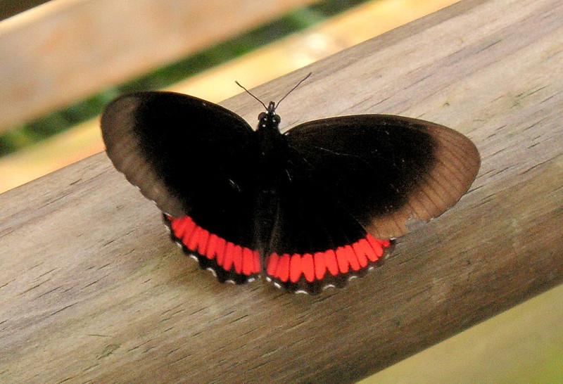 Crimson-banded Black (Biblis hyperia nectanabis).