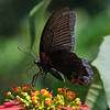 Male Great Mormon (Papilio memnon agenor)