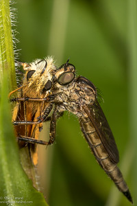 Family Asilidae - Robber Fly feeding on a European Skipper
