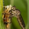 Family Asilidae - Robber Fly feeding on a European Skipper