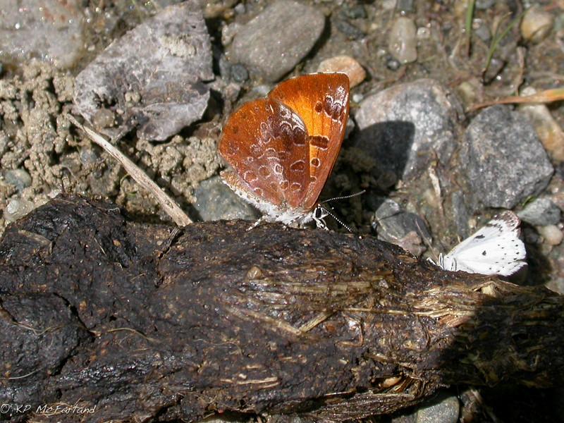 Harvester (Feniseca tarquinius)