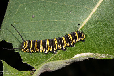 Monarch larva - last instar - aberrant black color
