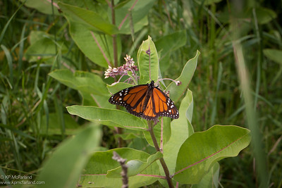 Monarch male