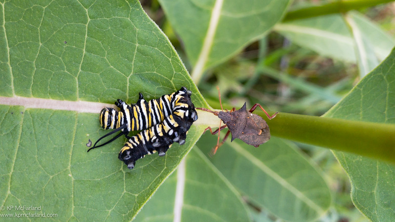 Spiny Shieldbug (Picromerus bidens) feeding on Monarch larva.