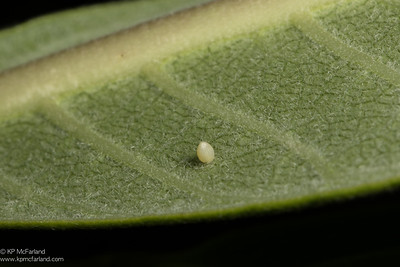 Monarch egg