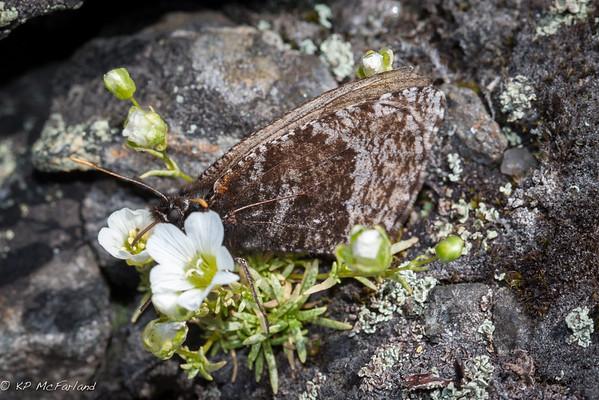 White Mountain Arctic (Oeneis melissa semidea)