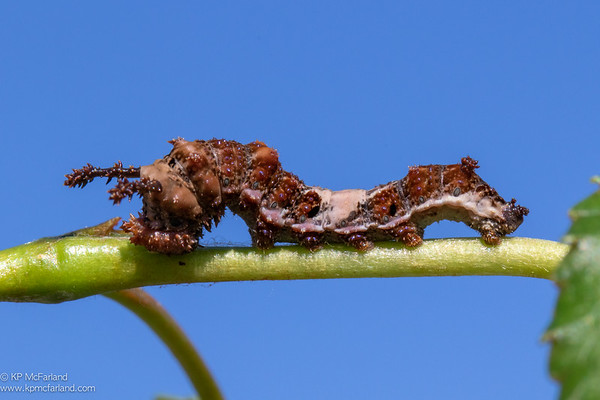 White Admiral caterpillar