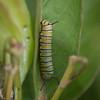 Monarch larva
