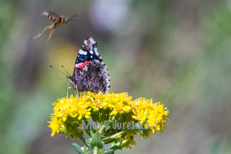 Painted Lady Photobombed by Marauding Wasp