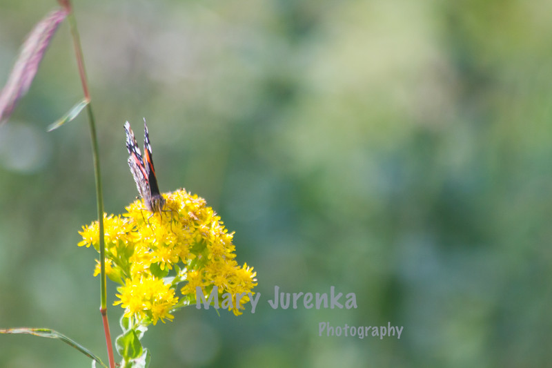 Painted Lady Butterfly at West Peterson Park in Ames, Iowa