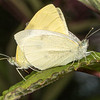 Cabbage White (Pieris rapae) mating.