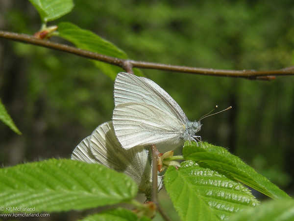 West Virginia White (Pieris virginiensis) mating