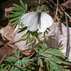 West Virginia White (Pieris virginiensis) on host plant