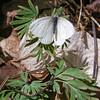West Virginia White (Pieris virginiensis) on host plant