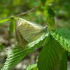 West Virginia White (Pieris virginiensis) mating