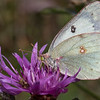 Clouded Sulphur - white form female
