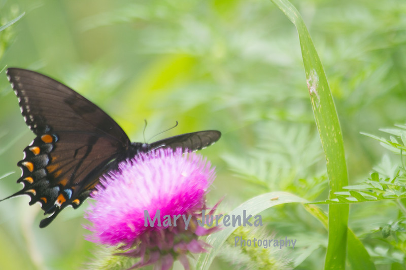 Eastern Swallowtail Female-Dark Morph
