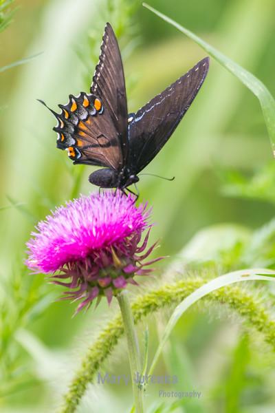 Eastern Swallowtail Female-Dark Morph